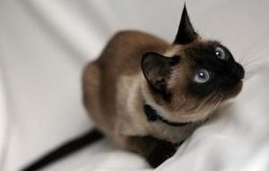 чем болеют сиамские кошки
