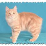 Порода кошек Манкс