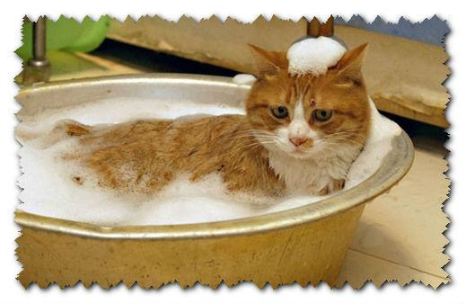 Купание кошек с шампунем от блох