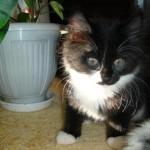 Гошенька котенок курильского бобтейла