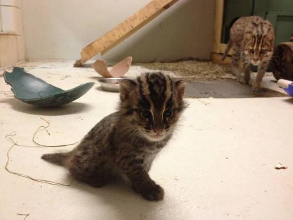 Котенок кошки рыболова