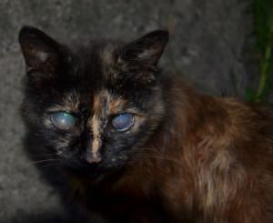 слепая кошка особенности ухода