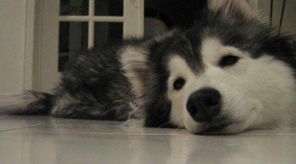 собака отдыхает