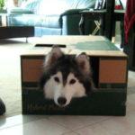 хаски в коробке