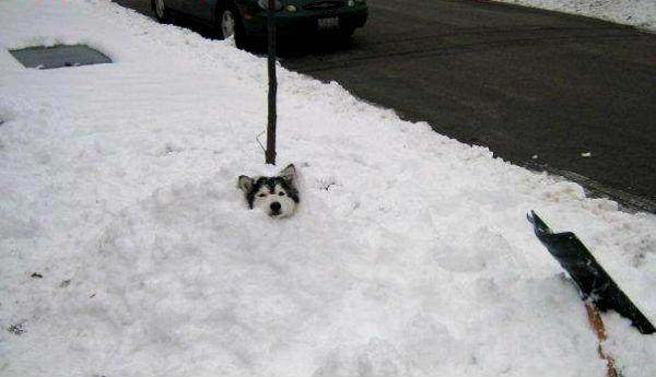 хаски играет в снегу