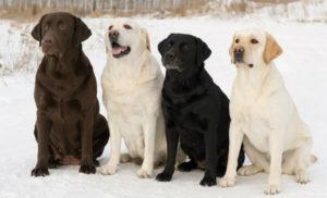 Порода собак Лабрадор - ретривер
