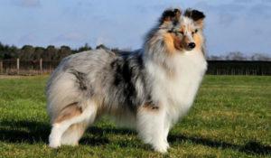 Порода собак Шелти
