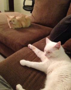 белый кот фото 4