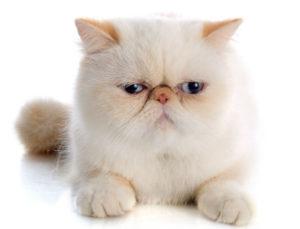 какая кошка подходит по зодиаку фото 11