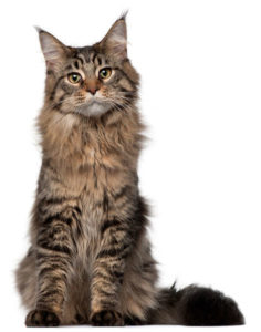 какая кошка подходит по зодиаку фото 12