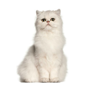 какая кошка подходит по зодиаку фото 13