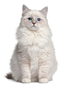 какая кошка подходит по зодиаку фото 3