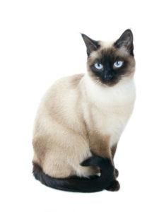 какая кошка подходит по зодиаку фото 4