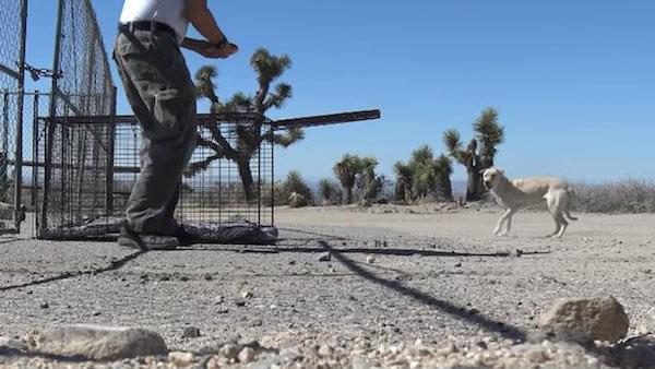 лабрадор в пустыне фото 1