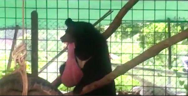 у медведя опух язык 2