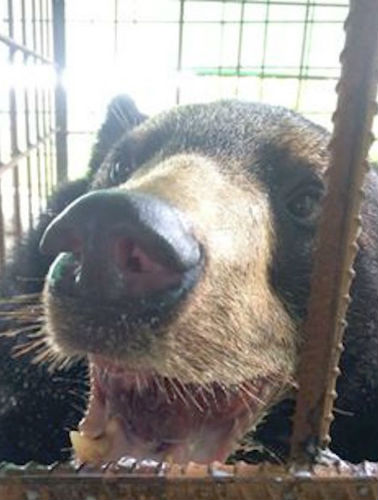 у медведя опух язык 4